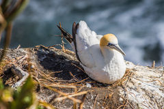 Тихое океан gannet на гнезде Стоковое фото RF