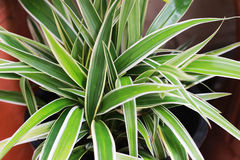 ТилапияÂ засаженная в саде зеленая предпосылка Стоковое фото RF