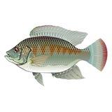Тилапия сырцовых морепродуктов Стоковое Изображение RF