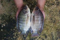 Тилапия (niloticus Oreochromis) в руке Стоковые Изображения