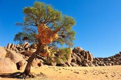 ткач вала гнездя Намибии социальный Стоковые Фотографии RF