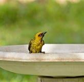 ткач ванны черный necked Стоковые Изображения RF