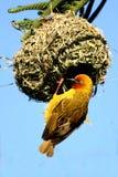 ткач гнездя плащи-накидк мыжской Стоковая Фотография RF