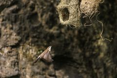 Ткач Baya, женская небольшая птица летая назад к своему гнезду для того чтобы кормить свои цыпленоки стоковое изображение