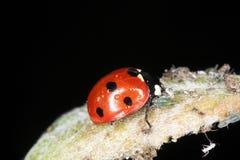 тли подавая ladybird Стоковые Изображения RF