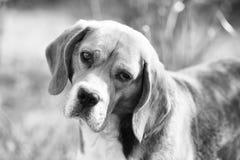 Товарищ или друг и концепция приятельства Прогулка бигля на свежем воздухе Собака с длинными ушами на лете внешнем Милый любимчик стоковые фотографии rf
