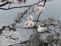 токио sakura Стоковые Фотографии RF