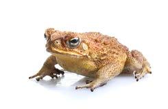 Токсическая жаба тросточки Стоковые Изображения RF