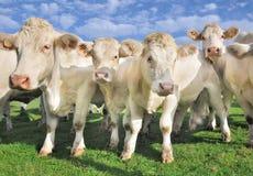 толпа коров икр Стоковые Изображения RF
