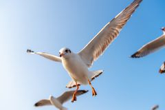 Толпа птицы чайки летает на небо на вечере Животное и живая природа стоковое фото