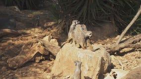 Толпа meerkats видеоматериал