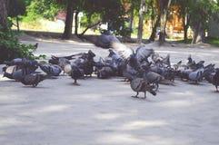 Толпы голубя Стоковая Фотография