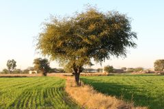 Толстая листва величественного дерева в fileds Стоковые Фото
