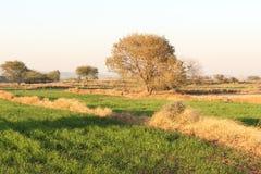 Толстая листва величественного дерева в fileds Стоковая Фотография RF