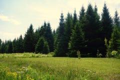 Толстый Coniferous лес на крае зеленого поля Стоковая Фотография RF