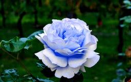 Только голубое Роза в саде стоковая фотография rf