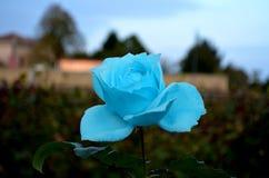 Только голубое Роза в саде стоковые фото