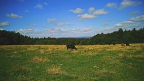 Только одна корова стоковые фотографии rf