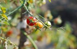 Томаты вишни Стоковая Фотография RF