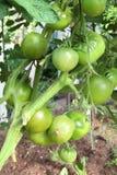 томаты завода зрея Стоковая Фотография