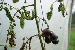 Томаты и червь рожка Стоковое Фото