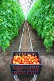 томаты коробки Стоковые Изображения RF