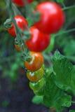 томаты красного цвета вишни зрелые Стоковая Фотография