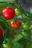 томаты красного цвета вишни зрелые Стоковое Изображение RF