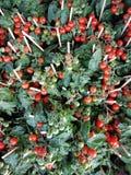 Томаты, красный цвет и зеленый цвет вишни Стоковые Изображения