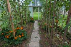 томаты незрелые Стоковая Фотография RF
