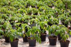 томаты парника растущие Стоковая Фотография RF