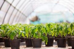 томаты парника растущие Стоковые Фото