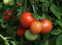 томаты пука зрелые Стоковые Изображения