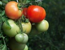 томаты пука зрелые Стоковое Фото