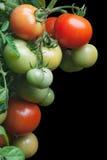 томаты пука зрелые Стоковые Фотографии RF