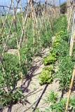 томаты салатов Стоковое фото RF
