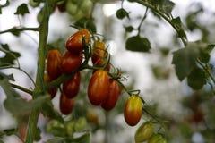 томат вишни малый стоковые фотографии rf