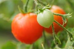 томат вишни Стоковое Изображение