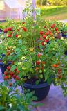 Томат в баке Серии томатов стоковые изображения