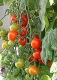 томат завода Стоковая Фотография RF