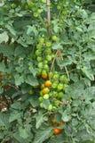 томат завода стоковые фото