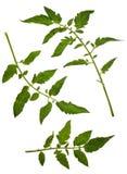 томат листьев Стоковое Изображение RF