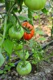 томат незрелый Стоковые Изображения RF