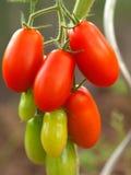 томат роста Стоковая Фотография