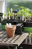 томат сеянцев стоковые изображения