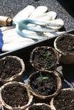 томат сеянцев Стоковое Изображение