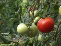 томат Стоковые Изображения