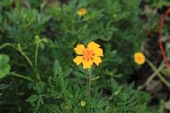 2-тонизированный цветок ноготк окруженный растительностью Стоковые Изображения RF