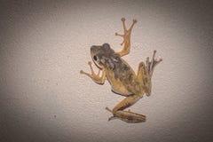 Тонкая лягушка на стене Стоковая Фотография RF