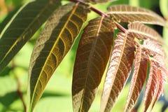 Тонкие, детальные листья с тяжело текстурированными венами/линиями близко вверх стоковая фотография